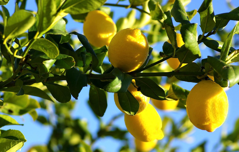 180227_lemon_02
